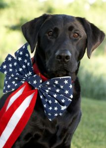 A black labrador dog is decorated for a Fourth of July Picnic